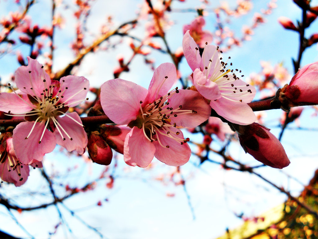 springblossom
